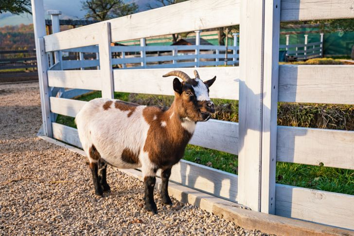Holland pygmy goat near wooden fence in farm