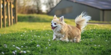 Small and Stylish: Long-Haired Chihuahuas
