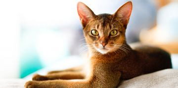 The Adorable Abyssinian Cat