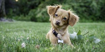 Charming Chihuahua Mixes
