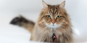 All About the Siberian Cat