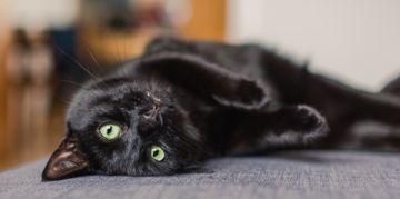 Beautiful Black Cat Breeds