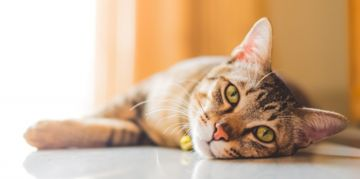 Ringworm in Cats: Symptoms and Treatments