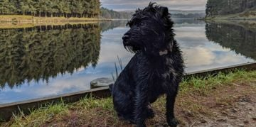 The Patterdale Terrier: Small and Mighty