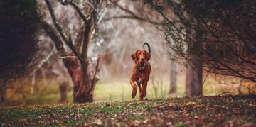 The Adventurous Redbone Coonhound