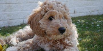 Cavapoo: Poodle Meets Cavalier King Charles Spaniel