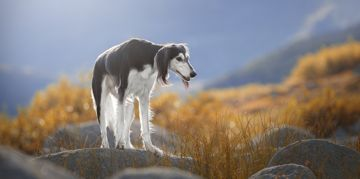 Understanding Your Saluki