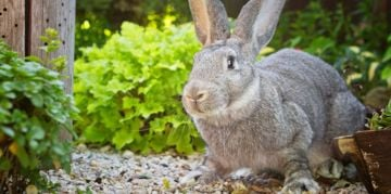 More to Love: Flemish Giant Rabbits