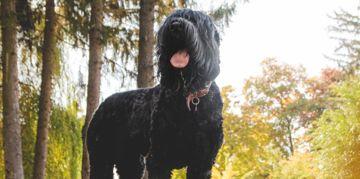 The Brilliant Black Russian Terrier