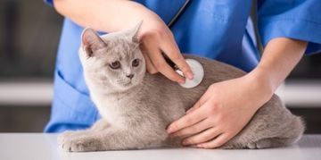 Pancreatitis in Cats