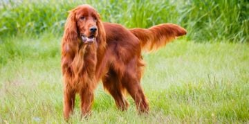 Irish Setters: A Bold, Sensitive Breed