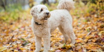 The Golden-Hearted Goldendoodle