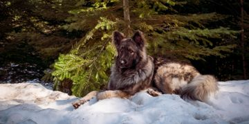 All About the Shiloh Shepherd