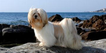 The Lhasa Apso: A Big Dog in a Small Body