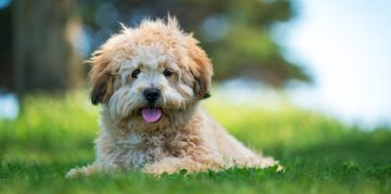 The Smart, Social Shih Poo
