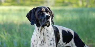 English Pointer: The All-Around Companion Dog