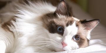 The Sweet Ragdoll Cat