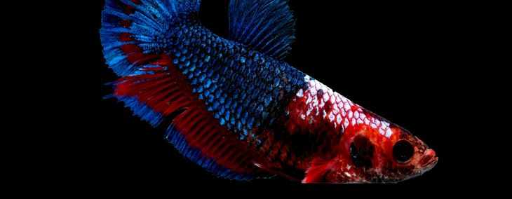 The Vibrant Color Varieties of Female Betta Fish