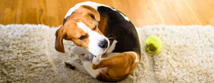 Dog Dandruff: Causes and Treatments