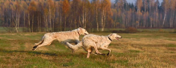 Borzoi: Regal Athlete and Loyal Companion