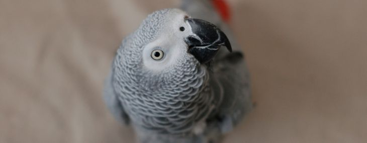 African Greys: The Einstein of Birds