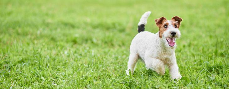 Feisty Fox Terriers