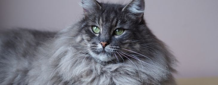 King in the North: The Norwegian Forest Cat