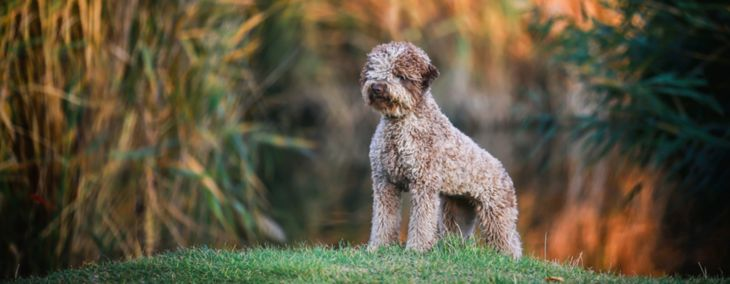 Lagotto Romagnolo: The King of Truffles