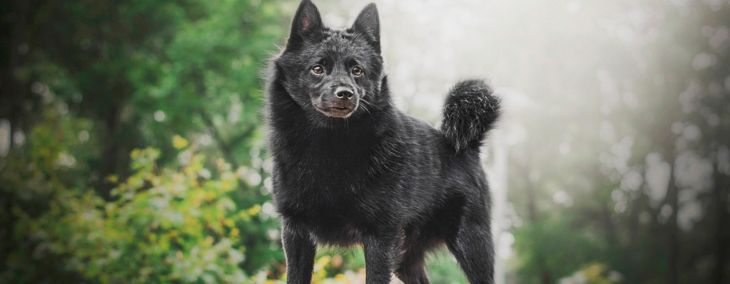 Schipperke: Little Black Dog with Big Personality