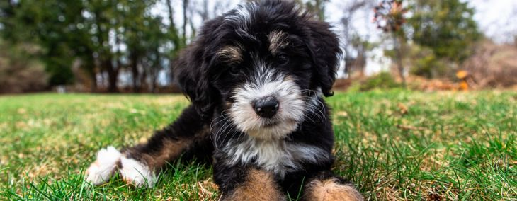 Is a Saint Berdoodle the Right Dog for You?