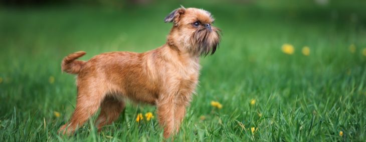 Brussels griffons: Belgium's tiny hunters