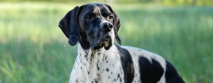 English Pointer: The All-Around Companion Dog