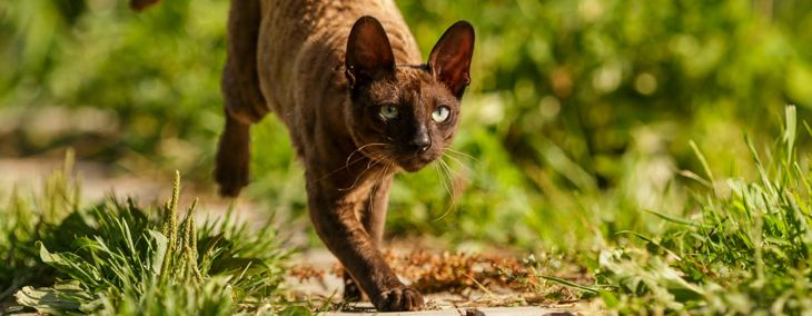 The Quirky Cornish Rex