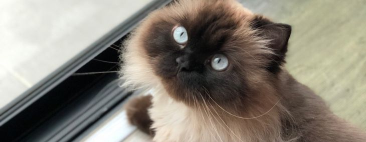 All About the Himalayan Cat