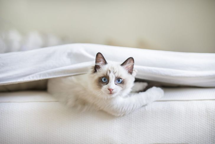 Ragdoll kitten on bed