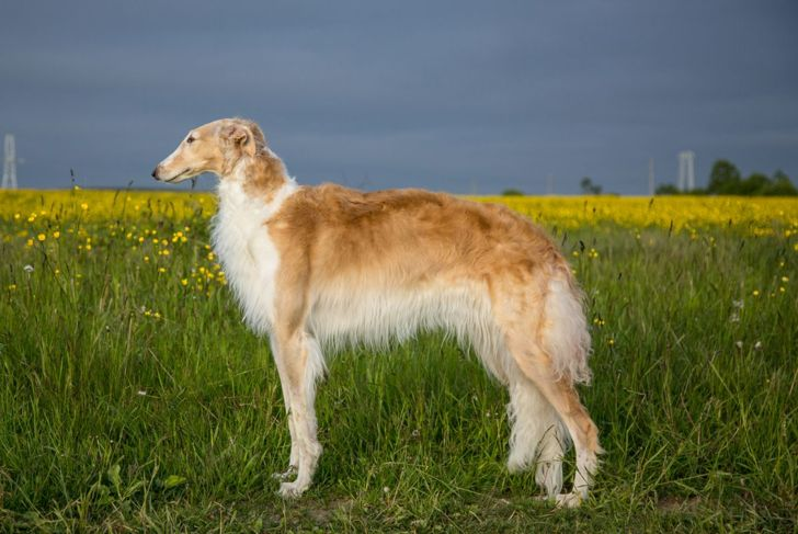 large slender powerful legs borzoi