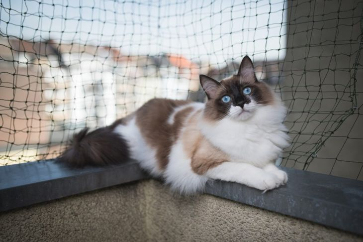 Ragdoll cat on a balcony