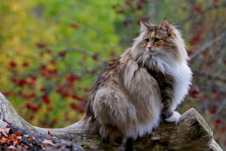 Norwegian forest cat outside