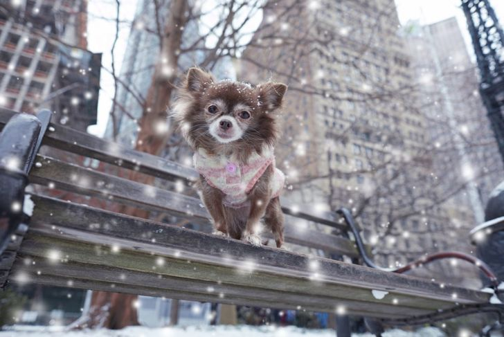 Long-haired Chihuahuas feel the cold more than other breeds.
