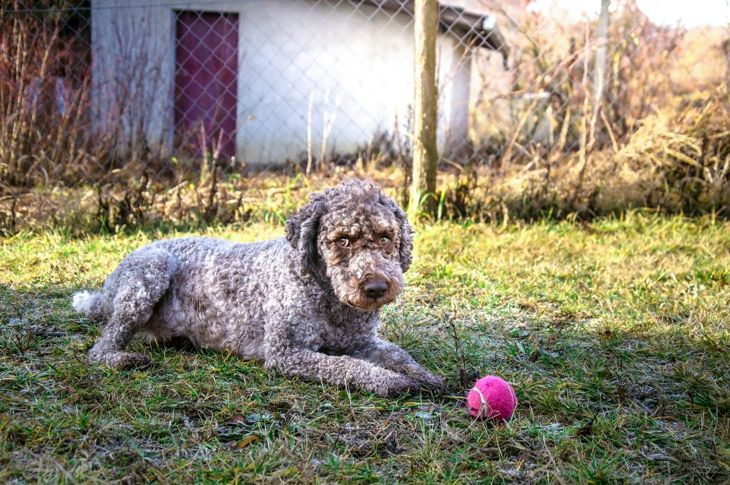 Intelligent-looking Lagotto Romagnolo