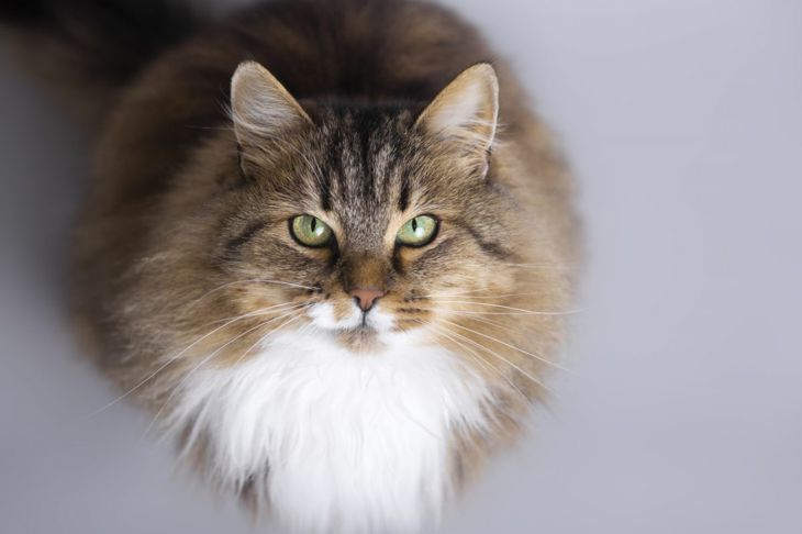 Siberian cat sitting and looking up