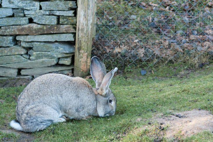 flemish giant rabbit enclosure