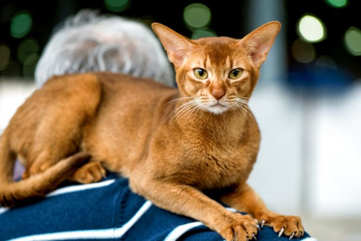 Abyssinian cat on the shoulders of an old man