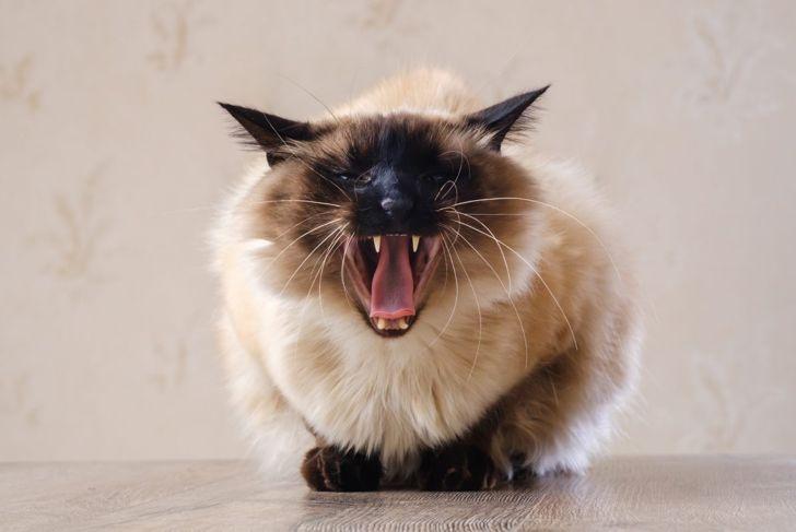 Balinese cat yawning