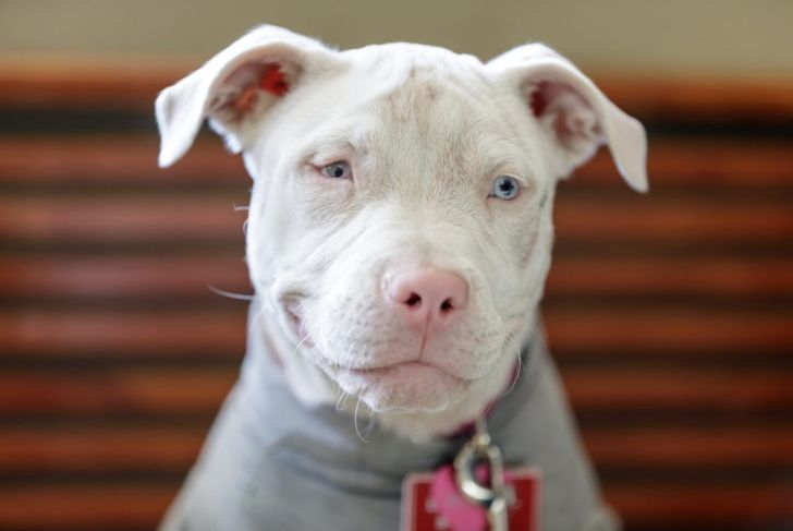 An albino pit bull with blue eyes