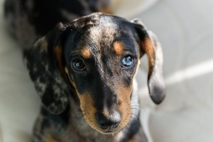 Dapple dachshund with a blue eye