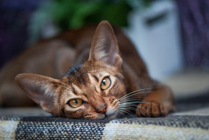 Abyssinian on a bed