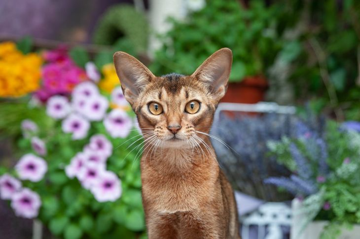 Abyssinian cat staring