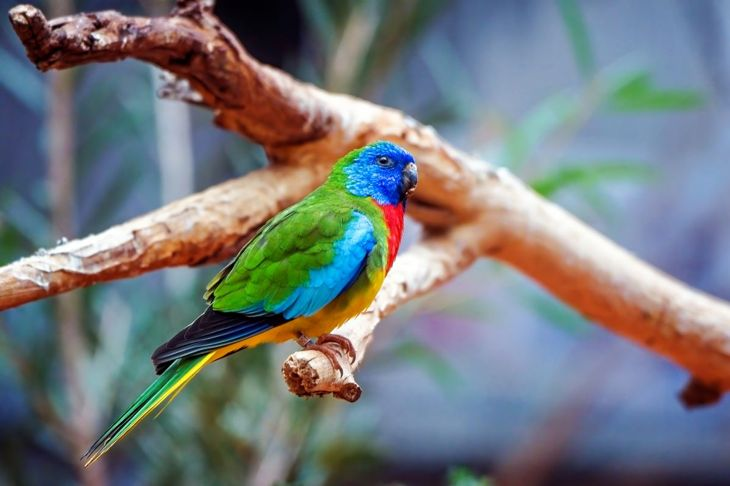 The scarlet-chested parakeet is extravagantly colored, but strong-willed too.