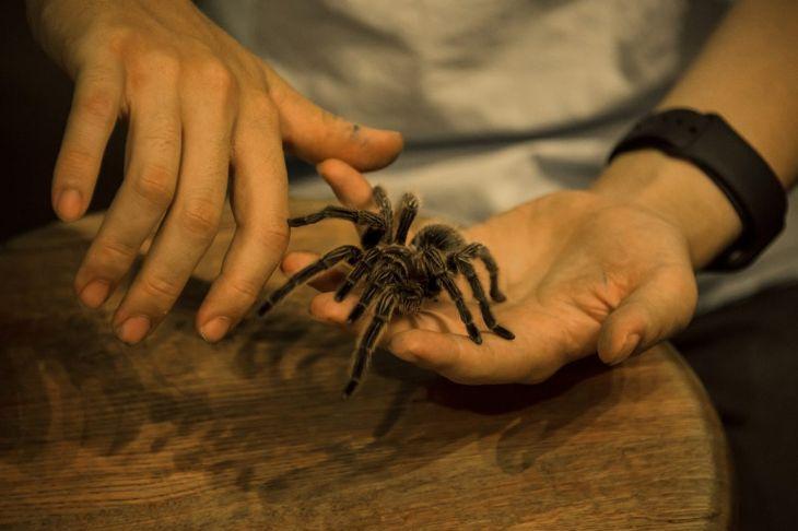 Tarantula on a persons hand.